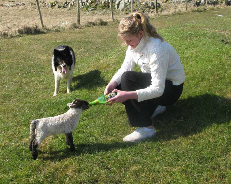 Feeding the pet lamb on the croft at Shawbost