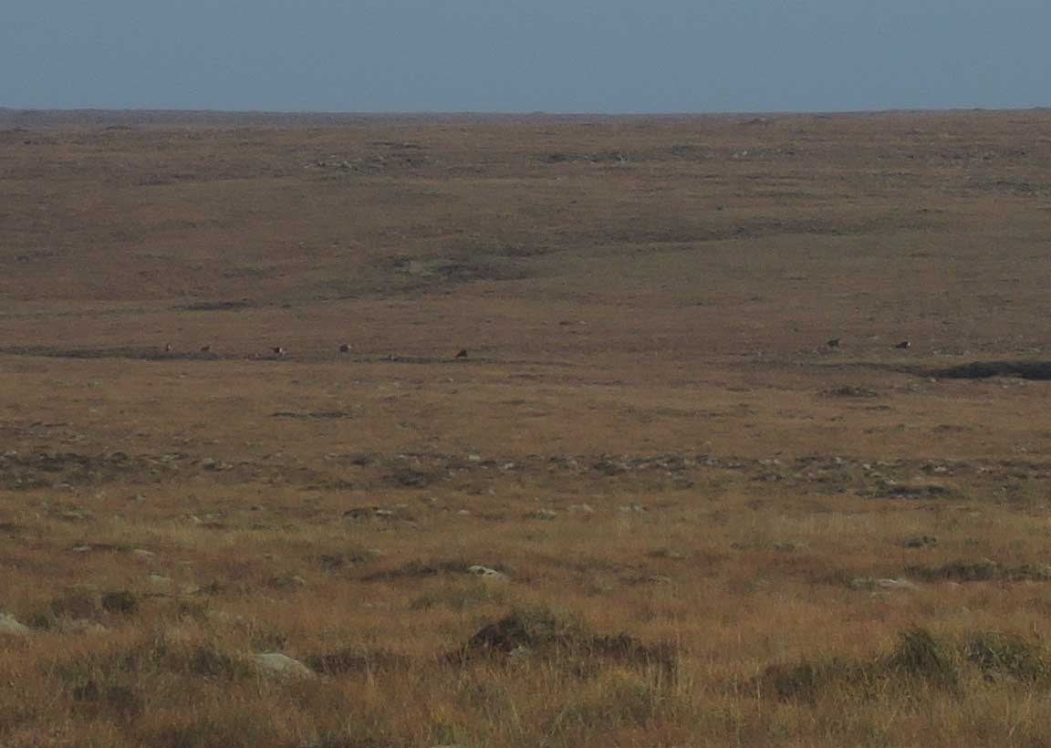A group of deer on the Lewis moorland