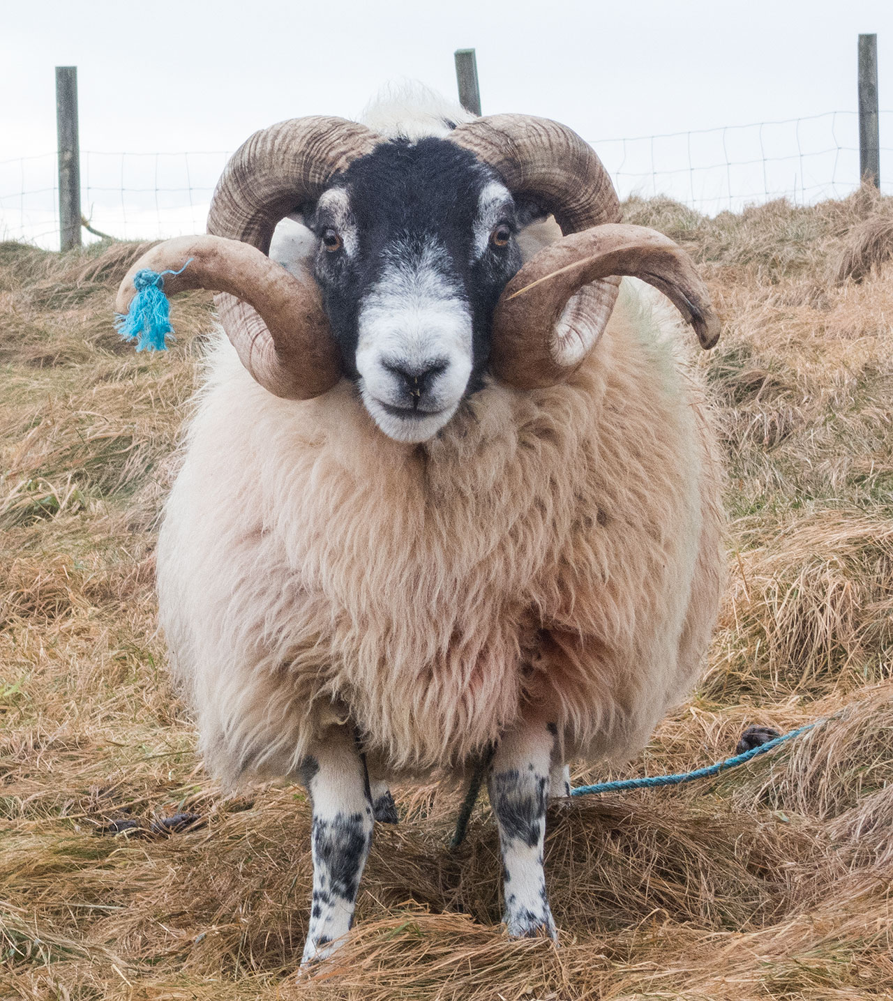 and Isle of Lewis ram